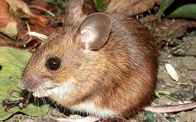 Field mouse animal - photo#21