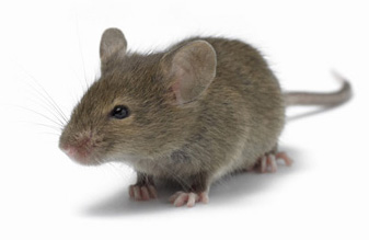 House mice images