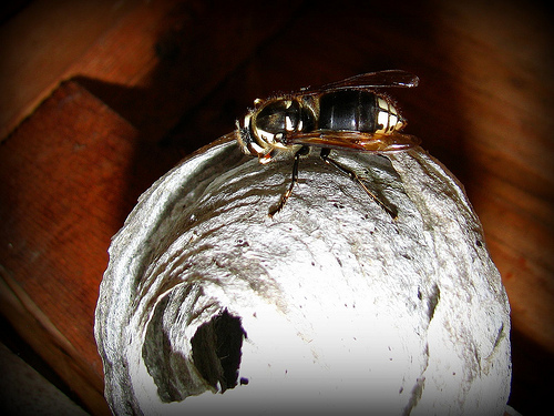 how to get rid of black wasp nest